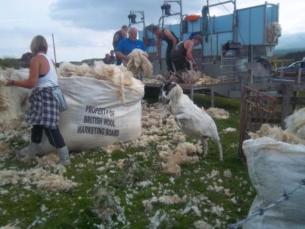 Fleissige Schafscherer auf Skye