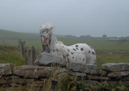 Vom Winde verweht am Marwick Head auf Orkney
