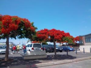 Flammenbäume wachsen in Los Christianos überall