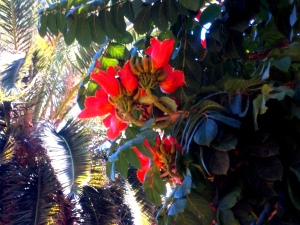 Blüten des Tulpenbaum im Parque Garcia Sanabria