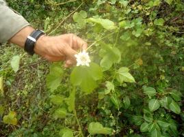Eine Galapagos-Passionsblume