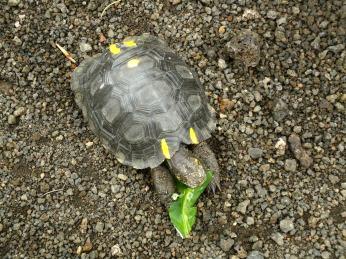 Eine ca 2jährige Riesenschildkröte
