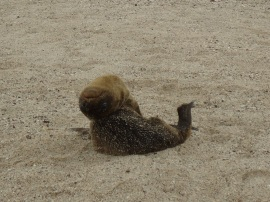 Ich wusste nicht, das die Seelöwenbabys so gelenkig sind