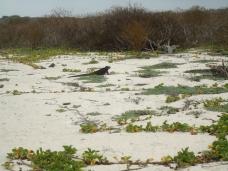 Gemächlicher Strandspaziergang für die Iguana
