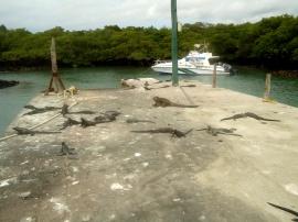 Der Pier mit den Leguanen auf Santa Cruz