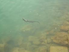 ... und eleganter Schwimmer