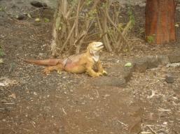Ein Land-Leguan im Charles-Darwin-Center