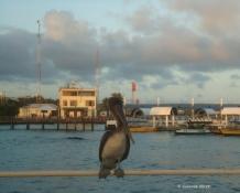 Pelikan in der Abenddämmerung auf Santa Cruz