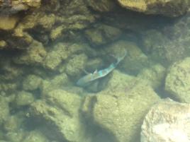 Im klaren Wasser deutlich zu sehen: der Papageifisch