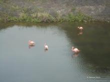 Galapagos-Flamingos auf Isabela