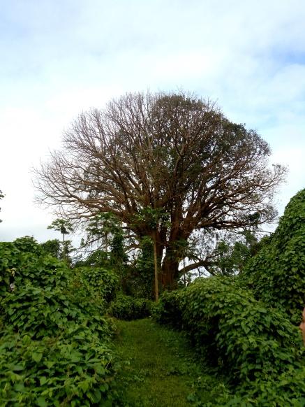 Riesiger Ceibo/Kapokbaum