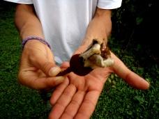 Ricardo zeigt uns eine Blüte der Galapagos-Baumwolle