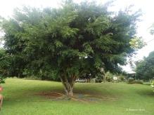 Ein Riesen-Ficus