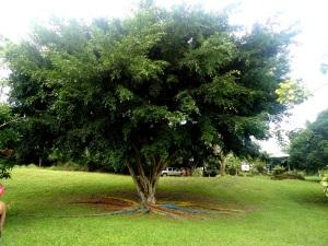 Was für ein Riese! Ein Ficus am Eingang des Campo Duro
