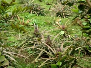 Das Ananasfeld