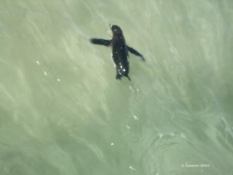Pinguin am Strand von Isabela