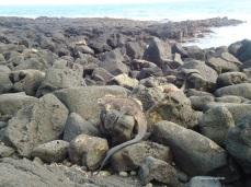 Am El Estero finden sich riesige Meeresleguane
