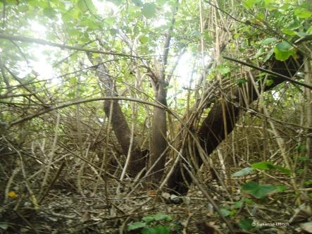 Noch mehr Mangroven