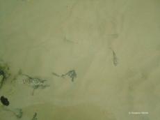 Baby-Kugelfische in seichten Wasser vor Santa Cruz