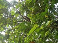 Totenkopfäffchen im Baum bei der Lodge