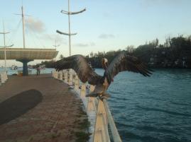 Den ganzen Tag bei den Pelikanen am Pier