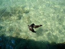 Wunderbare Unterhaltung: spielende Seelöwen