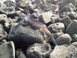 Meerechsen sind Experten im Sonnenbaden