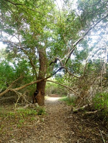 Pfad durch den Mangrovenwald auf Isabela