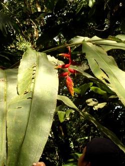 Papageiennase wird diese Pflanze genannt ...