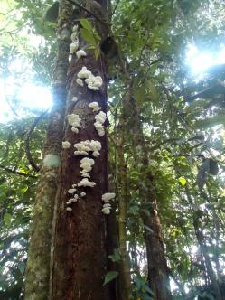 Auch im Regenwald gibt es Baumpilze