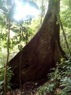 Das Ziel unseres Ausfluges: der Ceibo mit seinen Brettwurzeln
