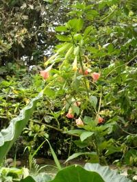 """Trompetenbaum im """"Garten"""" der Lodge"""