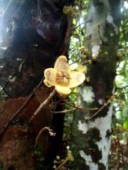 Die Blüte wächst hier direkt am Stamm