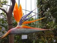Paradiesvogelblume oder auch Strelizie