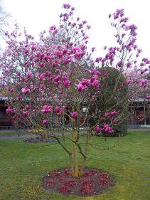 Magnolienblüte in der Wilhelma
