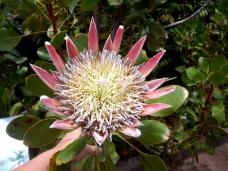 Protea oder auch Zuckerbusch oder Silberbäume