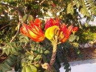 Blüte des Afrikanischen Tulpenbaumes