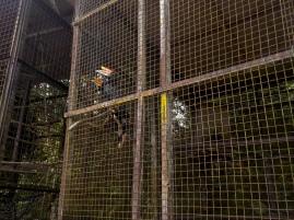 Rhinozeros-Hornvögel - sehr schwierig auszuwildern