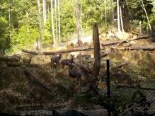 Sambal-Deer wird auch in Matang beherbergt
