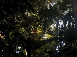Versteckt im Regenwald: Ein Orang Utan erwacht in seinem Nest