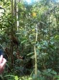 Der Ranger lockt den Orant Utan mit Früchten. Das Tier ist sichtlich gestresst.
