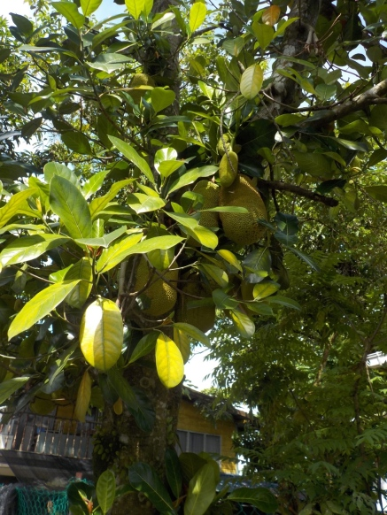 Ein Jackfruchtbaum oder auch Affenbrotbaum