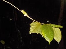 Eine kleine Agame beim Nachtspaziergang