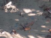 Kleine himmelblaue Krabben wuseln im Sand herum