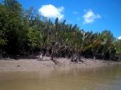 Nipa-Palmen, auch falsche Mangroven genannt, gibt es ganz viele hier.