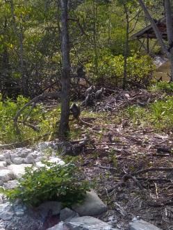 Am anderen Ufer angekommen, setzen sich die Silberhaubenlanguren in die Mangroven