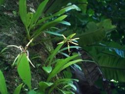 Noch eine hübsche und bisher unbekannte Orchideenart