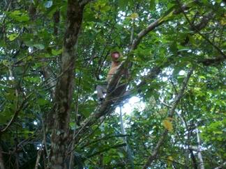 Nasenaffenmännchen in Bako