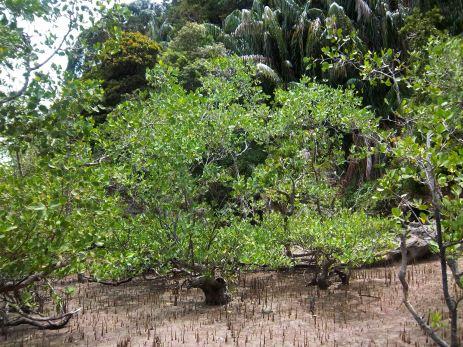 Mangroven bei Ebbe