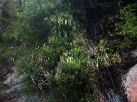 Ein Gebüsch mit lauter kleinen Kannenpflanzen